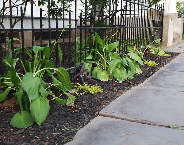 hostahedgepostplanting
