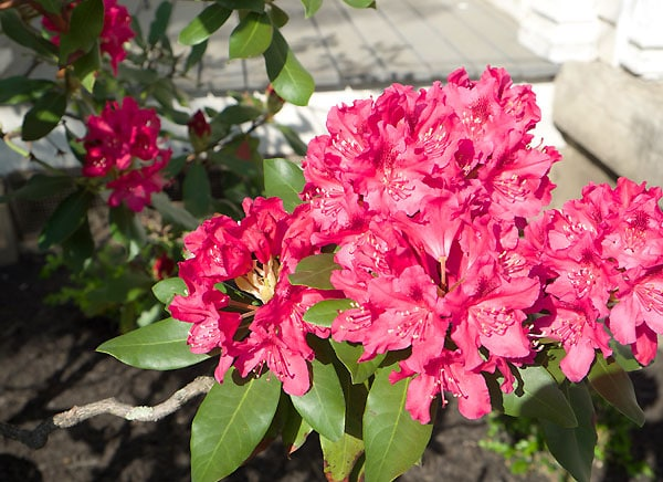 rhododendroninbloom